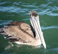 Free Swimming Pelican Royalty Free Stock Images - 7053369