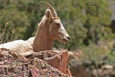 Resting Mother Bighorn Stock Photos