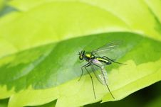 Free Long Legged Fly Royalty Free Stock Photos - 7053388