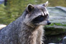 Free Raccoon S Head Stock Photos - 7053433