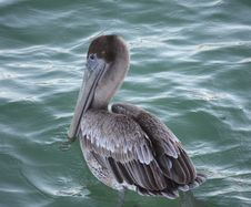 Free Pelican Swimming Royalty Free Stock Image - 7053486