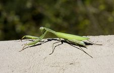 Free Praying Mantis Royalty Free Stock Images - 7053509