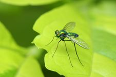 Free Long Legged Fly Royalty Free Stock Photography - 7053517