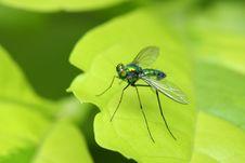 Long Legged Fly Royalty Free Stock Photography