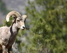 Free Approaching Male Bighorn Stock Images - 7053544