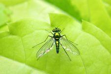 Long Legged Fly Stock Images
