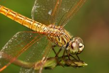 Free Dragonfly Royalty Free Stock Photos - 7053578