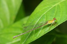 Free Damselfly Stock Photography - 7053652