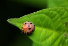 Free Ladybird Royalty Free Stock Photos - 7053658
