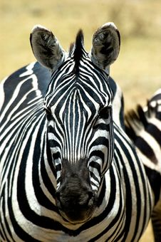 Free Zebra Portrait Royalty Free Stock Photography - 7054297