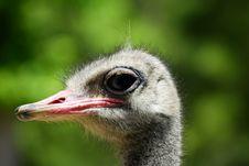 Free Emu Stock Image - 7054391