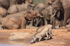 Free Warthogs Together Near A Herd Of Elephants Royalty Free Stock Photography - 7054707
