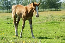 Free Foal Royalty Free Stock Images - 7056239