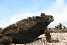 Free Marine Iguana Stock Photography - 7057172