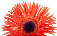 Free Red Gerber Daisy Stock Photography - 7057272