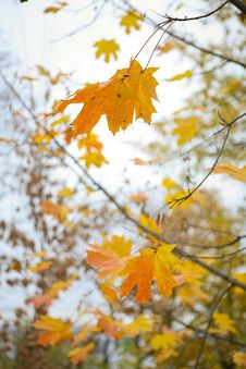 Free Autumn Maple Leaves Royalty Free Stock Photography - 7057697