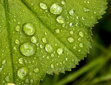 Free Green Leaf Royalty Free Stock Photos - 7058308