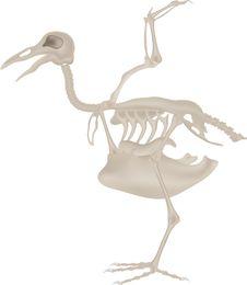 Bird Skeleton Stock Image
