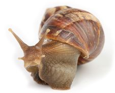 Free Snail Macro Royalty Free Stock Photography - 7059497