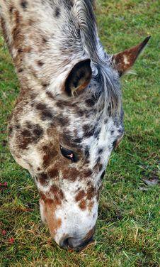 Free Close Up Of An Appaloosa Horse Royalty Free Stock Image - 7059946