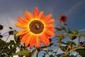 Free Orange Sun Flower Royalty Free Stock Image - 7060196