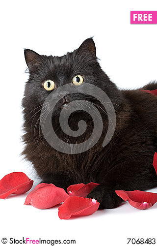 Cute black cat in rose petals isolated Stock Photo