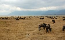 Gnus Next To The Ngorongoro Crater Lake Royalty Free Stock Photo
