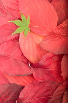 Free Autumn Background From Red Leaves And Maple Leaf Royalty Free Stock Image - 7060656
