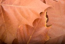 Autumn Background From Maple Leaves Royalty Free Stock Image