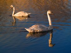 Free Two Swanes At Lake Royalty Free Stock Photography - 7062517