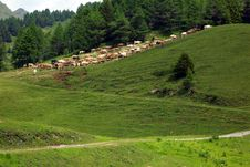 Free Cattle In The Mountains Royalty Free Stock Images - 7063089