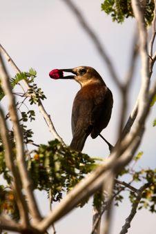 Free Bird With Berry Royalty Free Stock Photos - 7063758