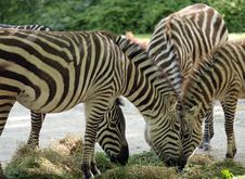 Free Zebras Feeding Stock Photos - 7064433