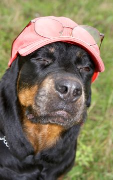 Free Dog Of Breed A Rottweiler In A Cap And Glasses Royalty Free Stock Photos - 7064768