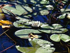 Free Leaves And Water Lily Stock Photos - 7065063