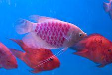 Free Aquarium Fish Stock Images - 7067954