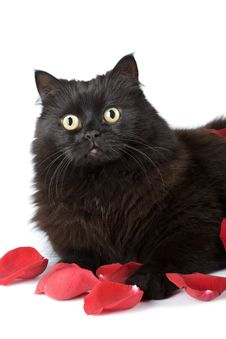 Free Cute Black Cat In Rose Petals Isolated Stock Photos - 7068483
