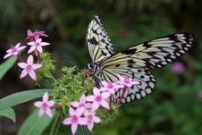 Free Idea Leuconoe Butterfly Royalty Free Stock Image - 7068996