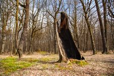 Free Burned Tree In The Woods Stock Photo - 70616230