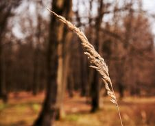 Yellow Dry Blade Of Grass Royalty Free Stock Photo
