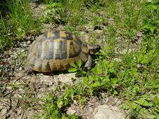 Free Testudo Graeca - Greek Tortoise Royalty Free Stock Photos - 70829718