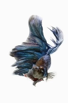 Free Betta Fish Royalty Free Stock Photos - 70849248