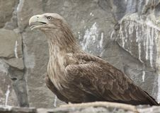 Free Eagle Sits On The Rock Stock Photos - 7092433