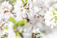 Free Honey Bee Harvesting Pollen From Cherry Blossom Royalty Free Stock Images - 70914349