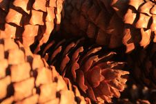 Pine Cone, Closeup Of Pine Cones, Plant, Tree, Macro Stock Image
