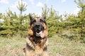Free German Shepherd Dog In Spring Day Stock Photo - 70980050