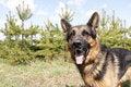 Free German Shepherd Dog In Spring Day Royalty Free Stock Image - 70980056