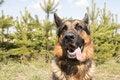 Free German Shepherd Dog In Spring Day Royalty Free Stock Photos - 70980078