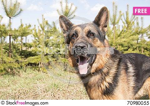 Free German Shepherd Dog In Spring Day Royalty Free Stock Photo - 70980055