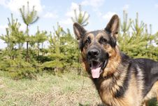 Free German Shepherd Dog In Spring Day Royalty Free Stock Image - 70980056